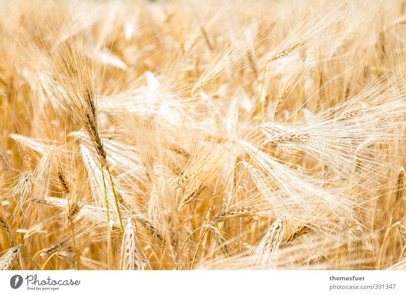 Sommer Ernährung Bioprodukte Vegetarische Ernährung Landwirtschaft Forstwirtschaft Pflanze Nutzpflanze Korn Kornfeld Feld leuchten natürlich Wärme gelb gold