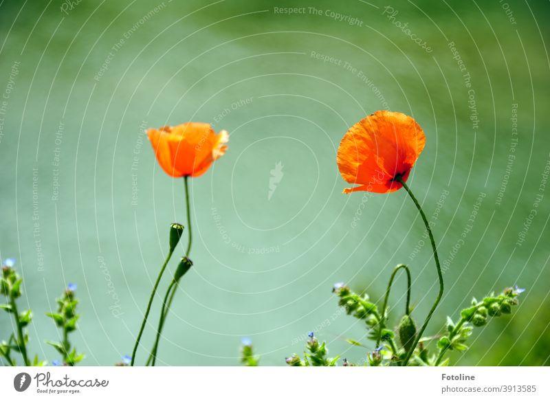 Erinnerung an den Sommer - oder 2 Mohnblumen wiegen sich leicht im Wind. Mohnblüte mohnblumen Natur rot Blume Blüte Pflanze Außenaufnahme Umwelt Farbfoto