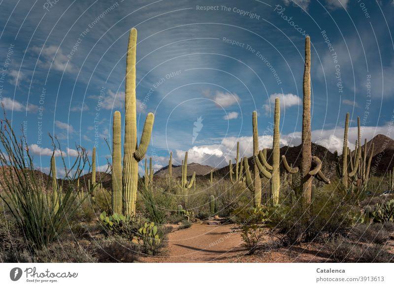 Landschaft mit Kakteen Arizona Tageslicht Grün Braun Blau Arid Reisen Ferne Wolken Himmel heiß Dürre trocken stachelig Dornen Büsche Pflanze Steine Sand Wüste