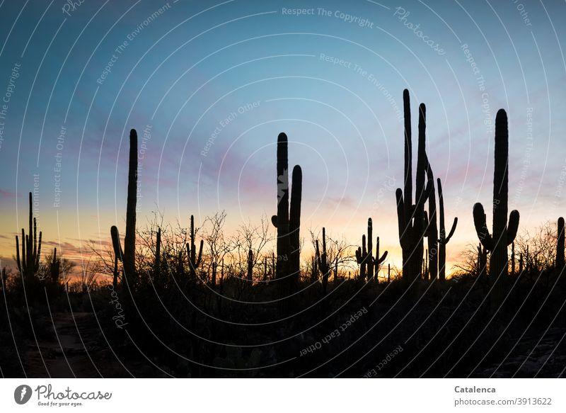Im Vordergrund die Silhouetten der Saguaro Kakteen, im Hintergrund Abenddämmerung Natur Pflanzen Kaktus Dämmerung Himmel Abendrot Saguaro Kaktus schönes Wetter