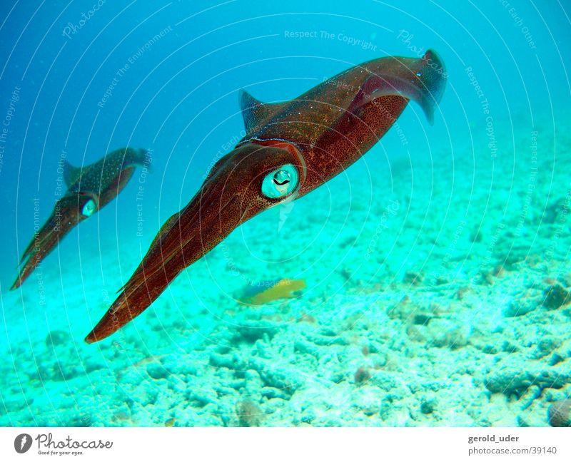 Kalmare Tier Tierpaar paarweise tauchen Unterwasseraufnahme
