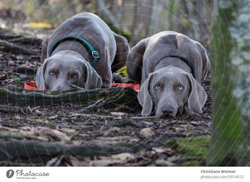 Weimaraner Jagdhunde flach am Boden liegend Vorstehhunde Hund Haustier Säugetier Arbeitshund Jagdgebrauchshund Freund Begleiter treu anhänglich arbeitsfreudig
