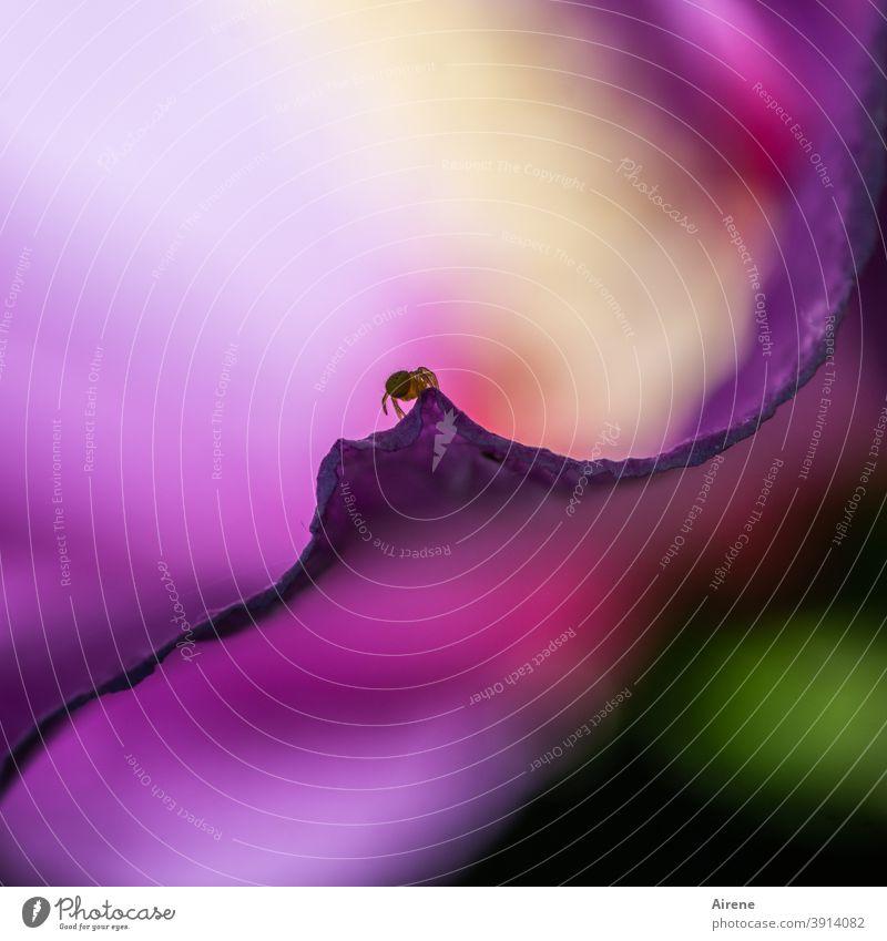 Gipfelstürmerin Blüte Hibiskus Spinne Insekt Macro lila klettern krabbeln klein mini nah steil Rand hoch Tier Makroaufnahme Nahaufnahme Natur Detailaufnahme