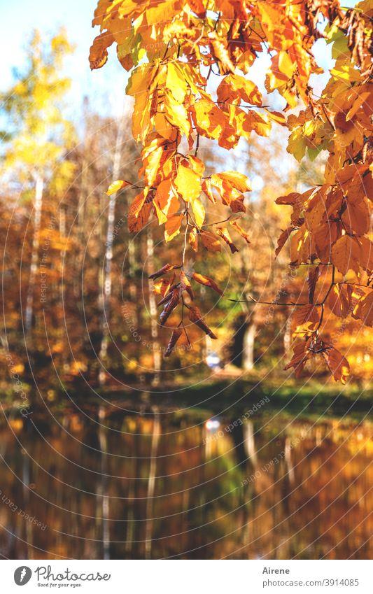 finale furioso Herbstlaub leuchten gold rot sonnig Teich herbstlich Natur Herbstfärbung See Herbststimmung braun positiv schönes Wetter Zweig orange lichtvoll