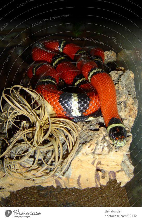 Königsnatter (Lampropeltis Triangulum Sinaloa) Schlange Mexiko Terrarium Nordamerika