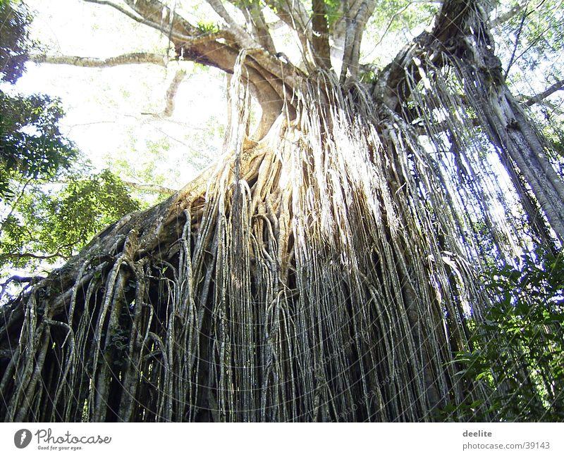 Australien Baum oben Wachstum Urwald
