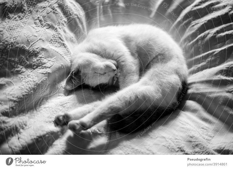 Schlafende Katze gemütlich Gemütlichkeit Bett Bettdecke schlafen Schlafplatz schlafend Bettwäsche Erholung Schlafzimmer Bettlaken ruhig Häusliches Leben