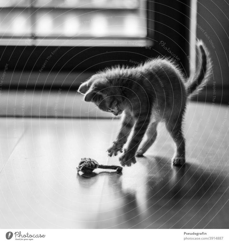 Der Mäusefänger Katze Katzenbaby Jäger Spielen Spielzeug fangen üben Haustier Tier niedlich Säugetier Tierjunges Hauskatze Fell süß