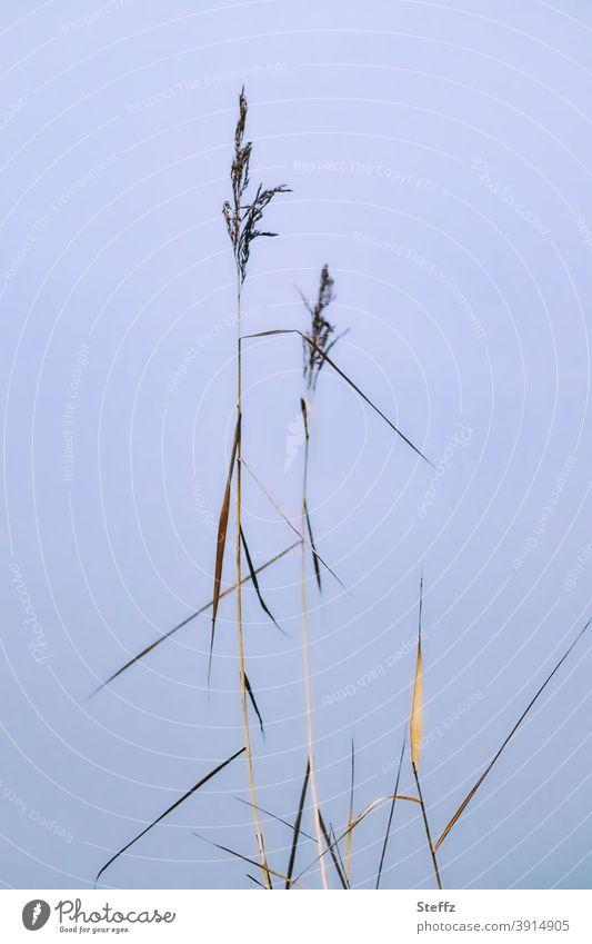 dünnes Gras vor einem unsichtbaren See Schilfrohr Seegras hohes Gras heimisch nordisch heimische Wildpflanzen minimalistisch Gräser Grashalme hochgewachsen