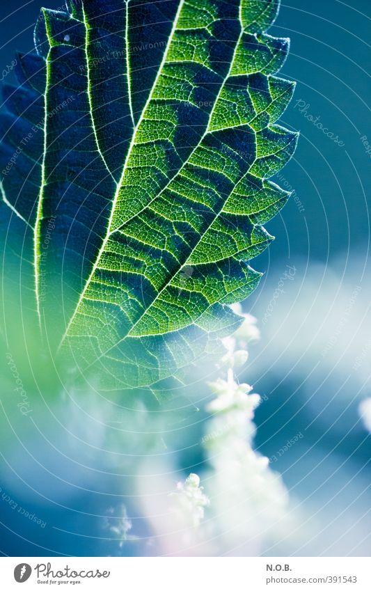 Blüh! Brennessel, blüh! Pflanze Sommer Blatt Blüte Grünpflanze Wildpflanze Blühend ästhetisch blau grün weiß Leben Natur Farbfoto Außenaufnahme Nahaufnahme
