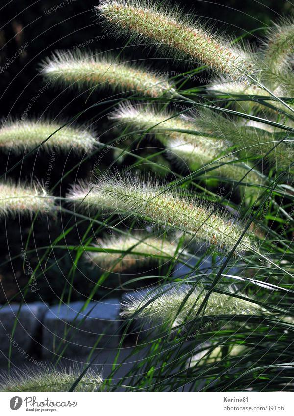 Teichputzer Natur Pflanze Garten Wasserpflanze
