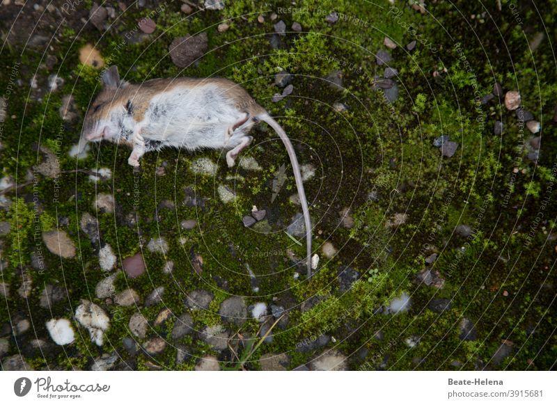 mausetot: Spitzmaus liegt auf Steinbetonplatte Maus Tier Nagetiere klein Säugetier Fell Schwanz Tod Angst winzig süß Vergangenheit
