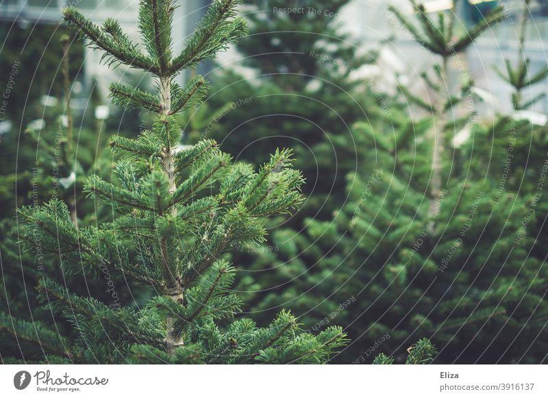 Tannenbäume tannenbäume Tannenbaum Nordmanntanne kaufen Weihnachtsbaumverkauf Tradition grün Nadelbaum Bäume Natur