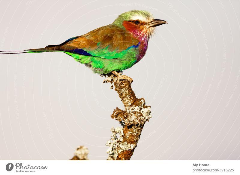 Roller auf dem trockenen Baum. SweetWaters Park. Kenia, Afrika Afrikanisch Tier Tiere schön Schönheit Vogel Vögel blau Ast hell hellste farbig farbenfroh