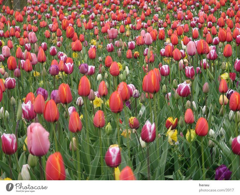 floriade001 Blume Tulpe