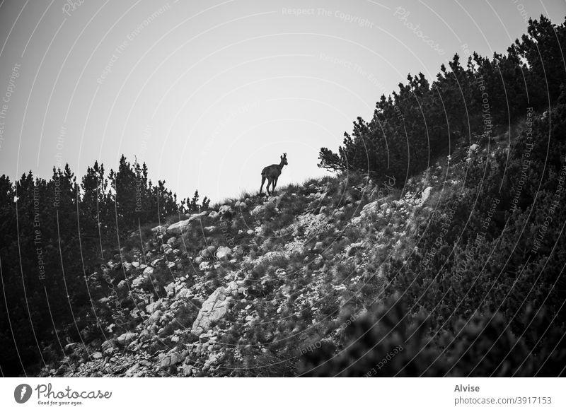 Steinbock-Silhouette Natur wild Tier alpin Europa Tierwelt Wildnis Säugetier Felsen IBEX Ziege natürlich Landschaft Berge u. Gebirge Alpen Hupe Europäer