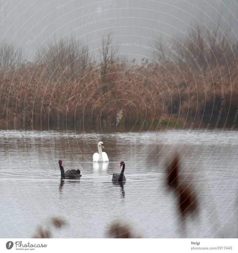 Nachbarschaften | zwei schwarze und ein weißer Schwan schwimmen an einem nebeligen Dezembermorgen auf dem Teich Vogel schwarzer Schwan Trauerschwan Morgen