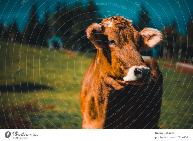 Kuh Berge Natur Tiere Draußen Outdoor animal cow Außenaufnahme Farbfoto Landschaft Berge u. Gebirge Wiese Weide Ferien & Urlaub & Reisen Nutztier Rind Sommer