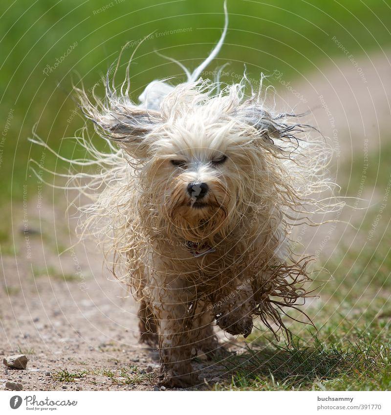 Struwwelpeter Hund grün weiß Tier Wiese Wege & Pfade Haare & Frisuren klein Aktion dreckig Geschwindigkeit nass Fell rennen Leidenschaft Haustier