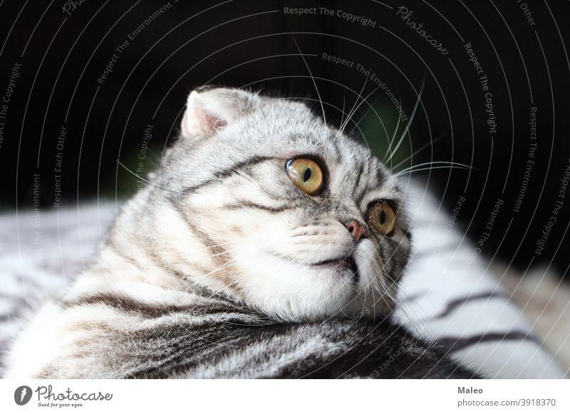 Porträt einer schönen reinrassigen Hauskatze / Britisch Kurzhaar Kätzchen Katze Haustier Säugetier Fell Tier Blick Katzenauge Tierporträt Katzenkopf Tiergesicht