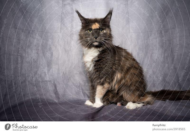 calico maine coon Katze mit Kätzchen versteckt unter flauschigen Fell fluffig katzenhaft Rassekatze Langhaarige Katze maine coon katze Haustiere Katzenbaby