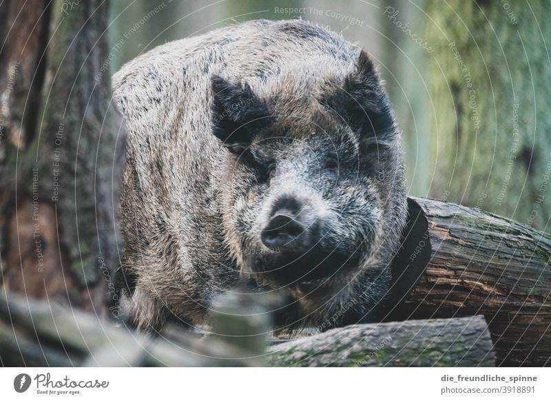 Wildschwein im Wald Schwein Tier Wildtier Sau Säugetier Ferkel Tierporträt Schnauze Menschenleer dreckig Außenaufnahme Bauernhof Nutztier Landwirtschaft grunzen