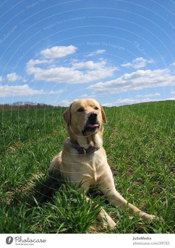 Hund auf der Wiese Wolken grüne Wiese Blauer Himmel auf der Lauer Außenaufnahme