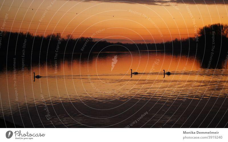 Schwäne im Sonnenuntergang Schwan Wasser Vogel Tier Feder weiß schön elegant Im Wasser treiben Schwimmen & Baden Natur Außenaufnahme Reflexion & Spiegelung