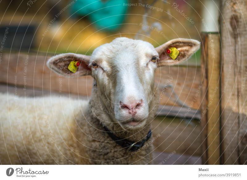 Schaf Weitwinkel Starke Tiefenschärfe Kontrast Silhouette Außenaufnahme mehrfarbig Farbfoto Natur Umwelt Schweden See Boot sheep Porträt Tier Tierporträt
