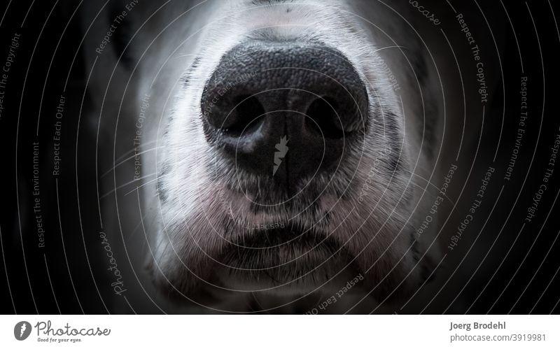 Hundenase eines Dalmatiners Schnauze schwarz weiß Flecken Punkte Tupfen Fell Barthaare riechen nasenlöcher Nahaufnahme Tier Haustier Tierporträt