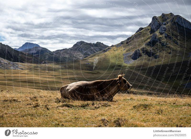 Ruhende Kuh auf der Alpweide Berge u. Gebirge Licht Schatten Felsen Moos Gras Wolken Stein Bruchstein steil wandern alpin Landschaft Außenaufnahme Tag Alpen
