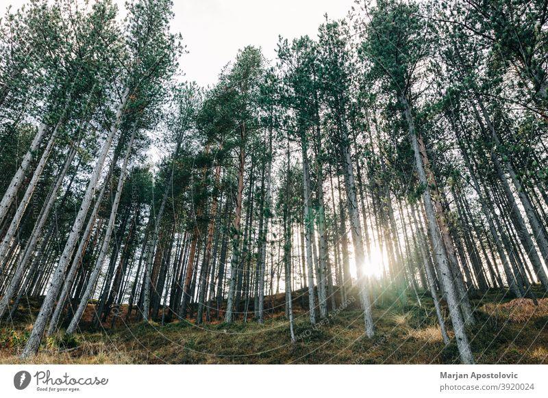 Kiefernwald in den Bergen Abenteuer Herbst Hintergrund schön Ast Erhaltung Tag Entwaldung Umwelt Immergrün erkunden Wald Forstwirtschaft Wachstum Hügel