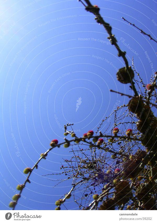 Buschwerk Himmel Sträucher Beeren