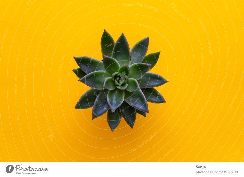 Draufsicht auf Sukkulente auf einem isolierten gelben Hintergrund grün Natur natürlich Pflanze Nahaufnahme Blatt schön Wachstum Blätter Botanik Detailaufnahme