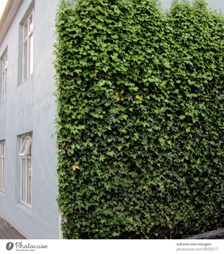weiß grün in island efeu natur blatt ranken Pflanze Farbfoto Außenaufnahme Tag Menschenleer Grünpflanze Licht haus fenster Mauer Fassade