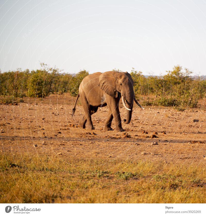 in Südafrika Naturschutzgebiet für Wildtiere und Elefanten Buchse Afrika Afrikanisch Tierwelt Safari Säugetier wild groß Baum Gras Kofferraum Savanne Park