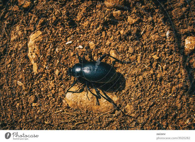 ein schwarzer Käfer auf dem Boden eines Feldes Raubtier Biologie Insekt Wanze flugunfähig Wirbellose groß Spielfigur Porträt Regen aussruhen Arten violett