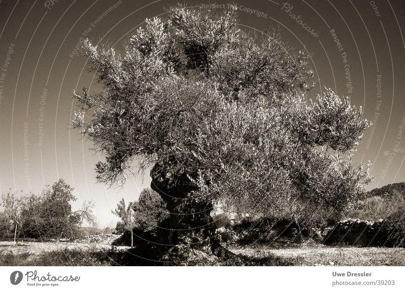 Olivenbaum auf Ibiza Baum Sommer Klarer Himmel
