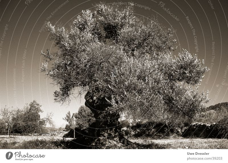 Olivenbaum auf Ibiza Baum Sommer Ibiza Olivenbaum Klarer Himmel
