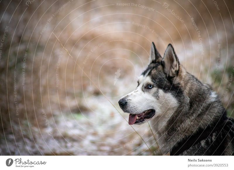 Sibirischer Husky auf der Suche nach neuen Abenteuern sibirischer Husky Malamut Hund Winter Spaziergang reisen gehen Sitzen Blick suchen Freund Tier