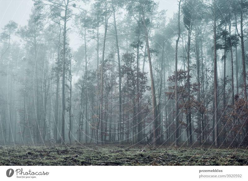 Wald in dichtem Nebel. Natur Landschaft Blick auf nebligen Wald im Herbst Saison Hintergrund Tag halbdunkel Umwelt erkunden grün natürlich