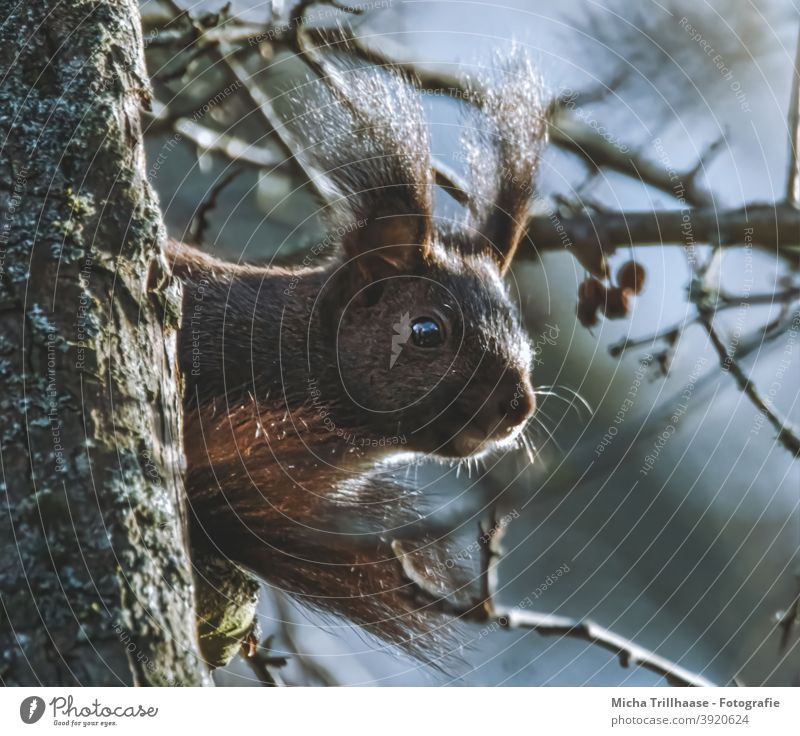 Eichhörnchen im Sonnenschein Sciurus vulgaris Tiergesicht Kopf Auge Nase Ohr Maul Krallen Schwanz Fell Nagetiere Wildtier Natur Baum Sonnenlicht Schönes Wetter