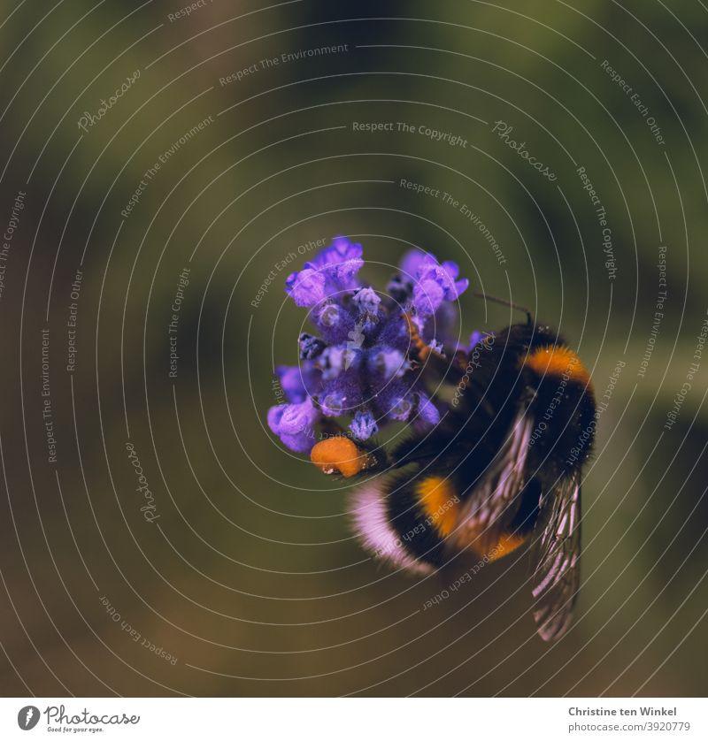 Hummel / Erdhummel an einer lila Blüte Pollen Pollen sammeln Insekt Tier Natur Makroaufnahme Sommer Nektar Flügel gelb braun Schwache Tiefenschärfe Garten