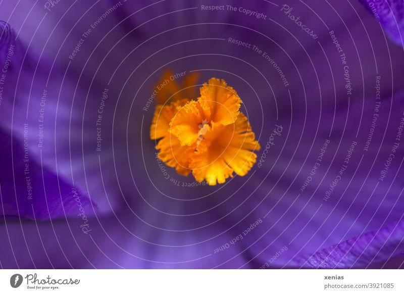 Makroaufnahme violetter Krokus mit Stempel in Orange Blüte Frühling orange lila Krokusse Blühend Pflanze Blume Detailaufnahme Garten Jahreszeiten Blütenstempel