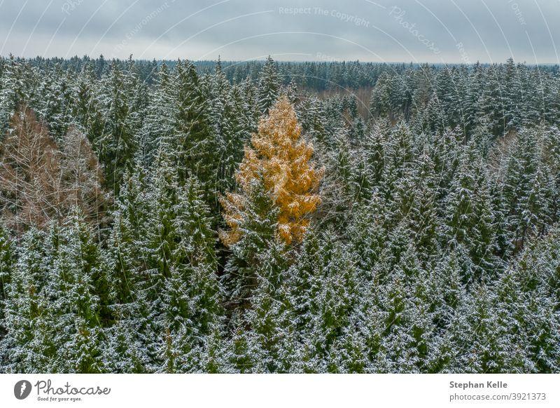 Das Fremde - verschneiter Winter in den grünen Baumkronen, aber ein Laubbaum ist orangefarben - Kontrast in einer jahreszeitlichen Landschaft Weihnachten