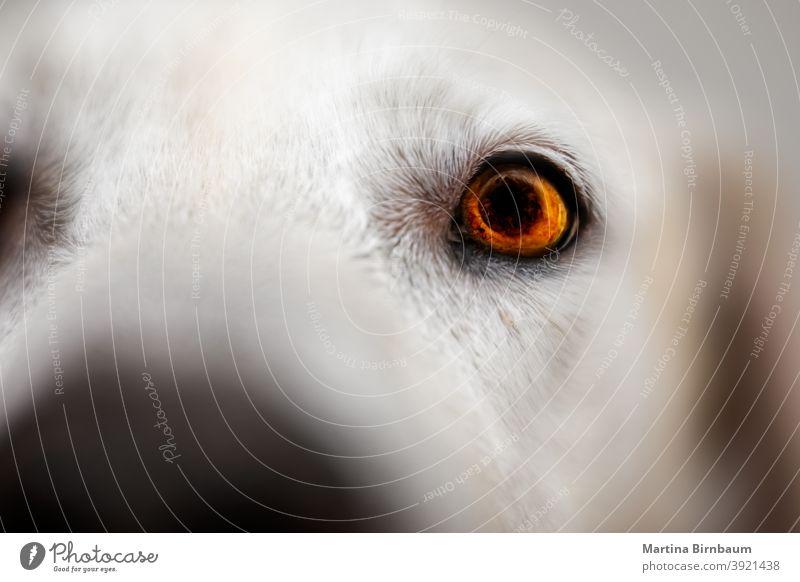 Auge eines Labrador Retrievers, selektiver Fokus achtsam Licht Regenbogenhaut Selektiver Fokus labrador retriever Tier Haustier weiß Gesicht schön Nahaufnahme