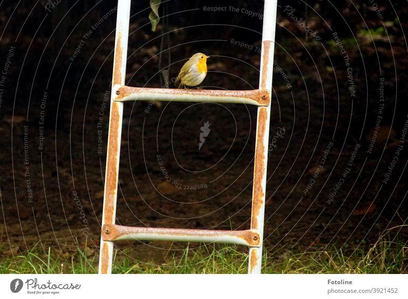 Einsame Weihnachten - oder ein kleines Rotkehlchen sitzt auf der obersten Sprosse einer Leiter und schaut sich um. Vogel Tier Außenaufnahme Natur Farbfoto 1