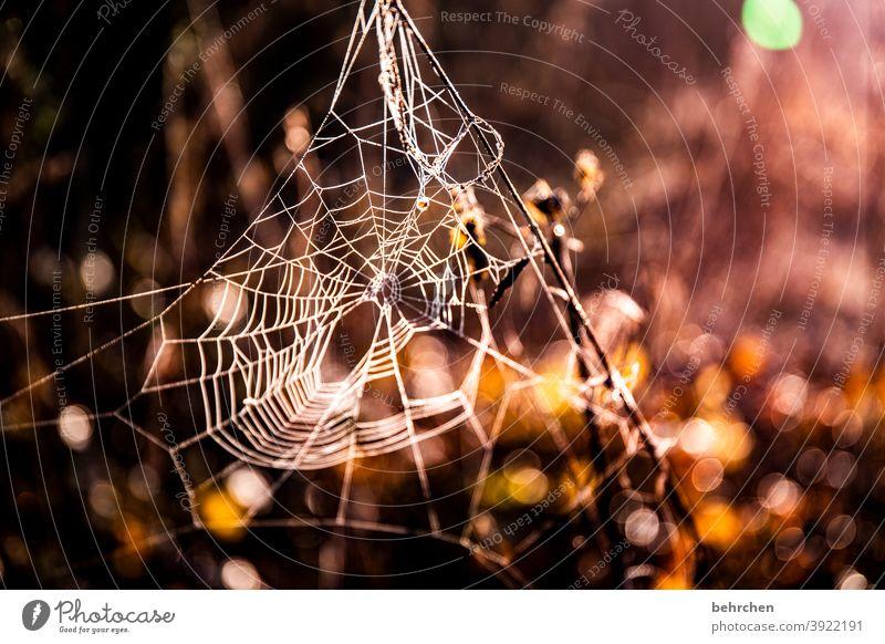 spinne am morgen Spinne Spinnennetz Natur Sonnenlicht Sonnenaufgang Wiese Garten Zweige u. Äste Blume Feld Licht Gegenlicht verträumt spinnenweben Kunstwerk