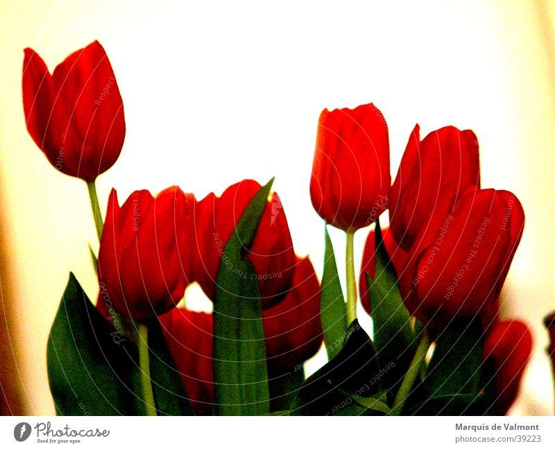 Blumen für Frau Antje? Tulpe rot grün Gegenlicht Blüte Blatt Niederlande Licht Nahaufnahme Blütenkelch Kontrast Lichtschein flowers red back light blooms