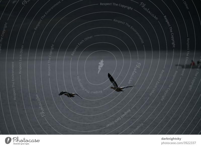 Zwei fliegende Nilgänse (Alopochen aegyptiaca) über dem Biggesee und Fischerei Nilgans (Alopochen aegyptiaca) Wasser Flucht Sauerland Invasive Arten Aves